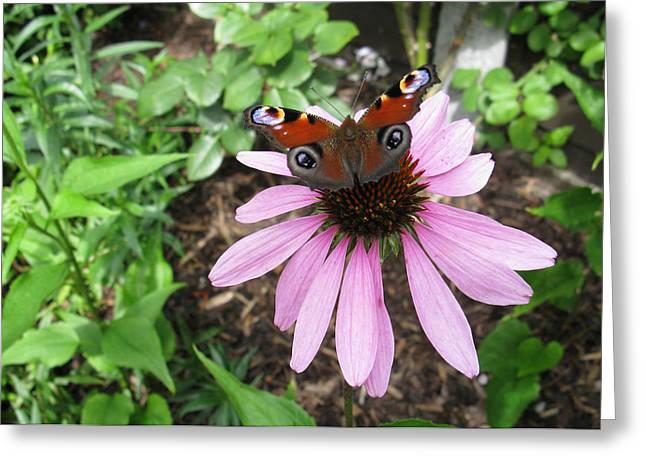 Greeting Card featuring the photograph Butterfly On Echinacea by Helene U Taylor
