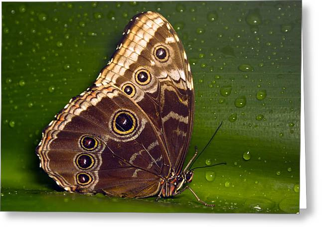 Butterfly On Green  Greeting Card by Sebastiaan Bosma