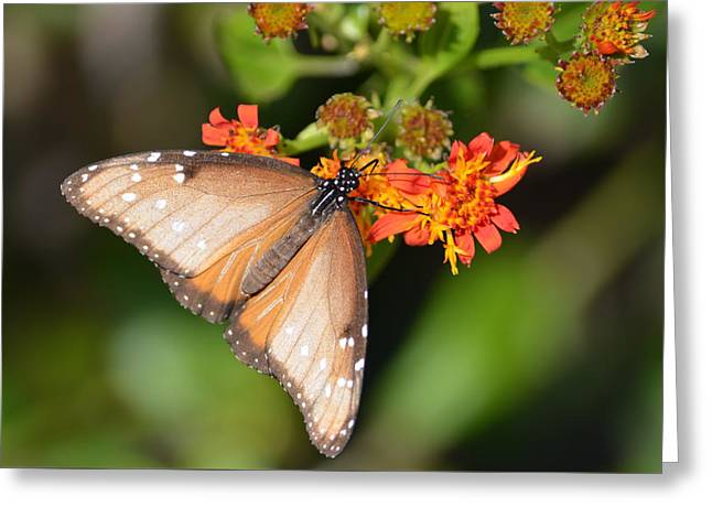 Greeting Card featuring the photograph Butterfly On Mexican Flame by Debra Martz