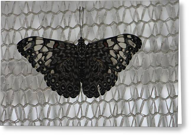 Greeting Card featuring the photograph Butterfly On Net by Bill Woodstock