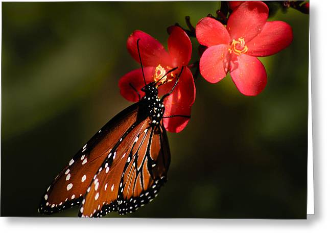 Butterfly On Red Blossom Greeting Card by Penny Lisowski