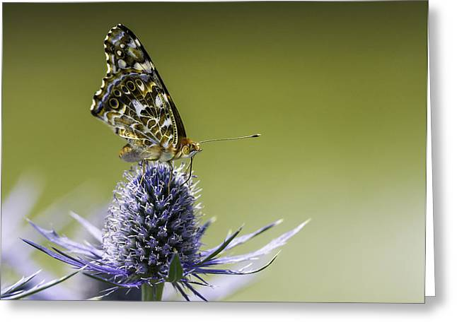 Butterfly On Thistle Greeting Card by Peter v Quenter
