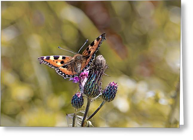 Butterfly On Tistle Sep Greeting Card