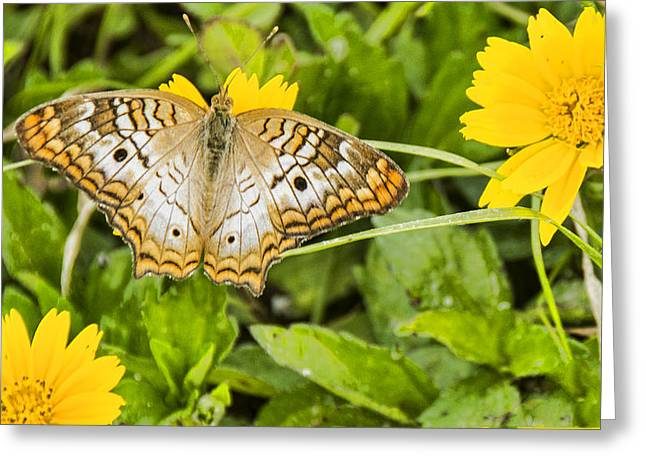 Butterfly On Yellow Flower Greeting Card by Don Durfee