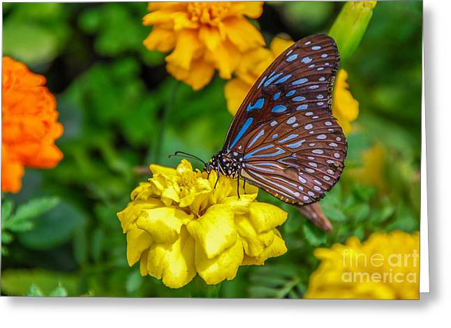 Butterfly On Yellow Marigold Greeting Card