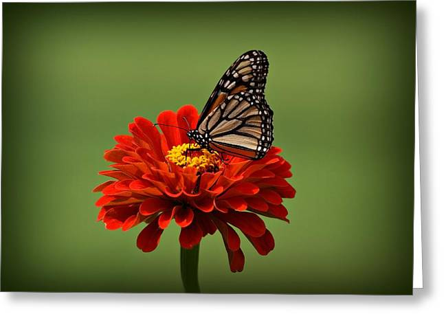 Butterfly On Zinnia Greeting Card by Sandy Keeton