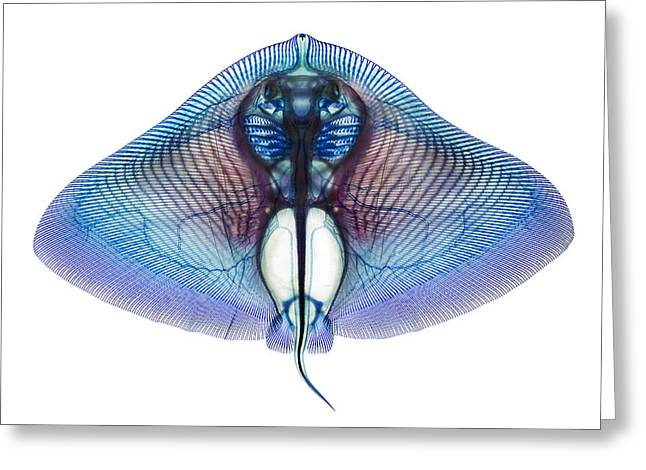 Butterfly Ray Greeting Card by Adam Summers
