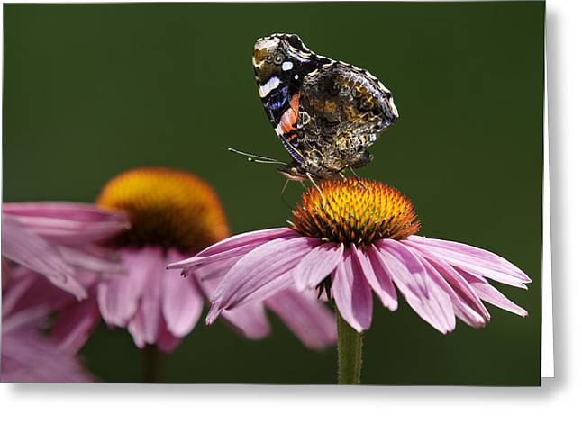 Greeting Card featuring the photograph Butterfly Red Admiral On Echinacea by Peter v Quenter