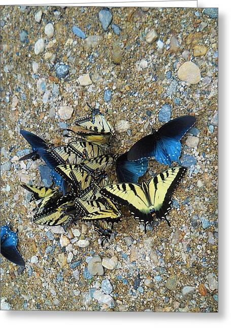 Butterfly Reunion Greeting Card by Jeff Moose