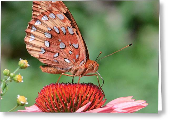 Butterfly Sipping A Coneflower Greeting Card