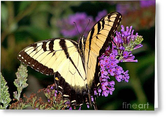 Butterfly Greeting Card by Timothy Clinch