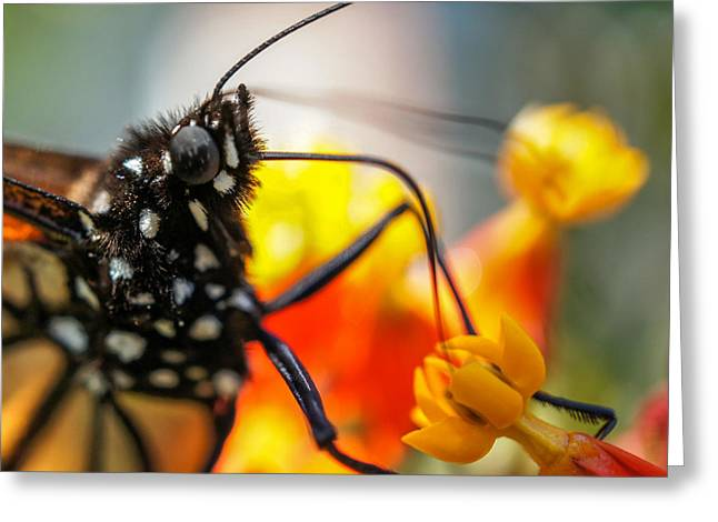 Greeting Card featuring the photograph Butterfly Tongue Squared by TK Goforth