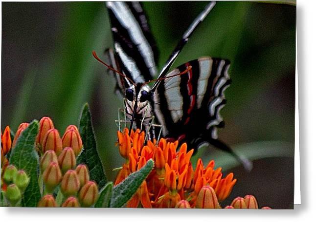 Butterfly Weed Greeting Card by Karen McKenzie McAdoo