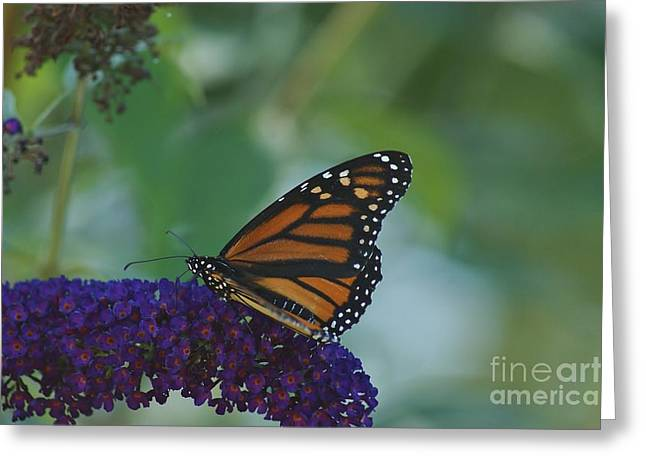 Butterflybush Greeting Card