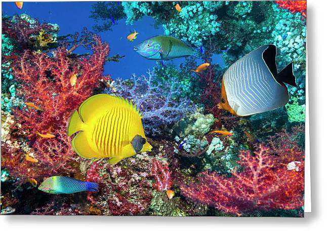 Butterflyfish And Wrasse On A Reef Greeting Card
