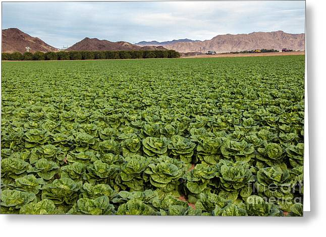 Butterhead Lettuce Farm Greeting Card by Robert Bales