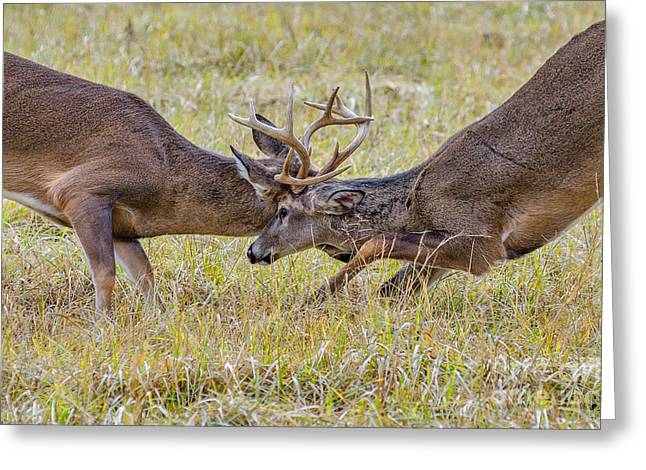 Butting Antlers Greeting Card by Anthony Heflin