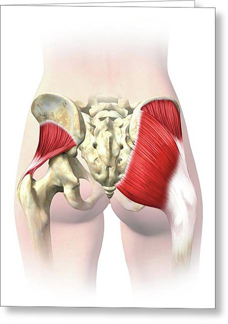 Buttock Muscles Greeting Card