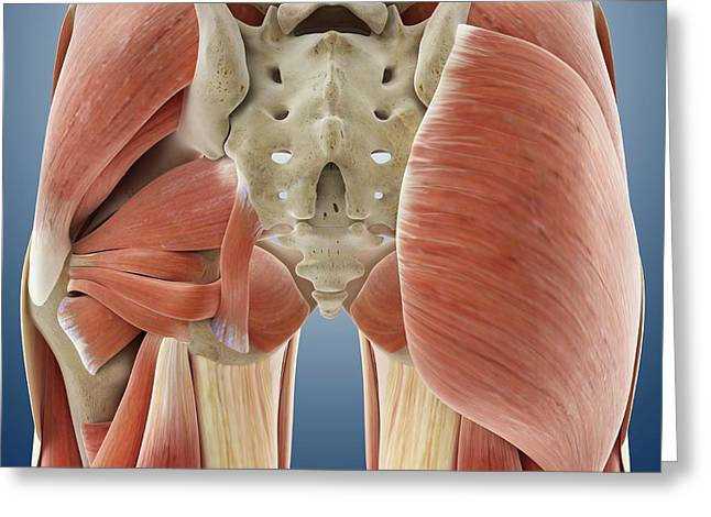 Buttock Muscles Greeting Card by Springer Medizin