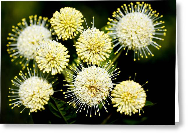 Buttonbush Greeting Card