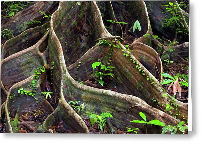 Buttress Roots Greeting Card by Alex Hyde
