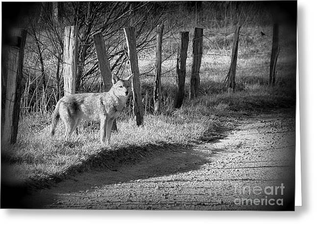 Bw Coyote Greeting Card