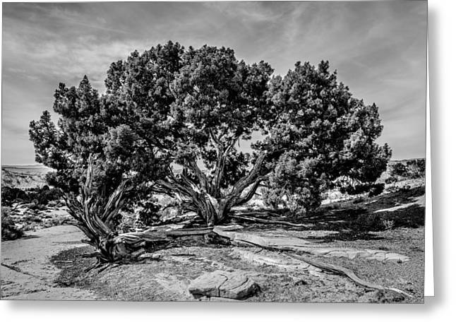 Bw Limber Pine Greeting Card