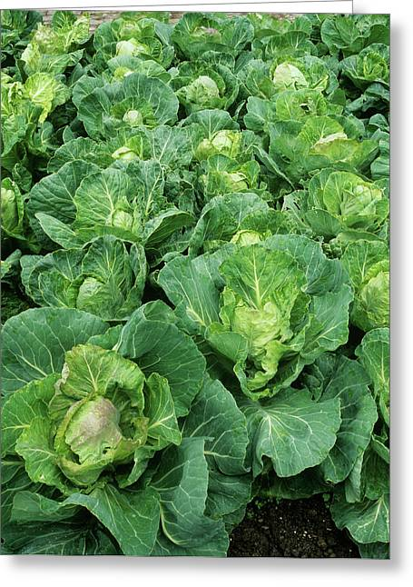 Cabbage (brassica 'golden Acre Primo II') Greeting Card by Geoff Kidd/science Photo Library