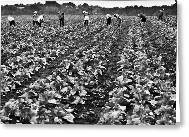 Greeting Card featuring the photograph Cabbage Farming by Ricky L Jones