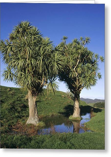Cabbage Tree Pair New Zealand Greeting Card by Tui De Roy