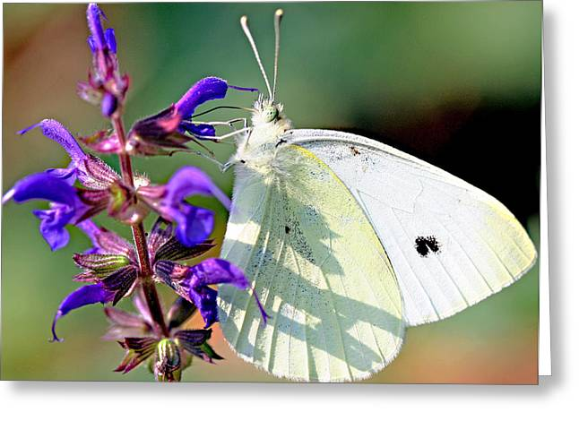 Cabbage White Butterfly Greeting Card by Brian Magnier