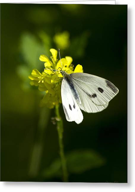 Cabbage White Butterfly On Yellow Flower Greeting Card by Christina Rollo