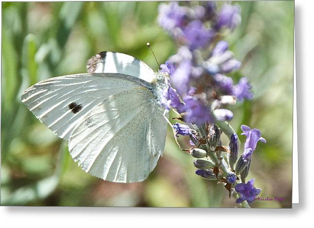 Cabbage White On Lavender  Greeting Card
