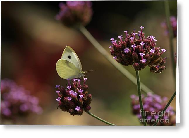 Cabbage White On Purpletop Vervain Greeting Card by Anna Lisa Yoder