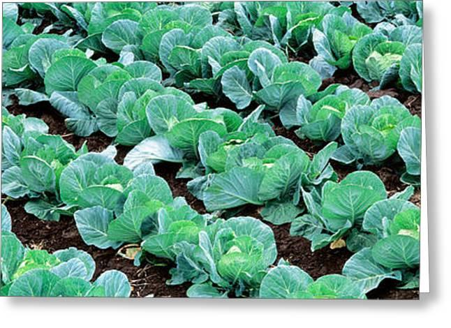 Cabbage, Yamhill Co, Oregon, Usa Greeting Card