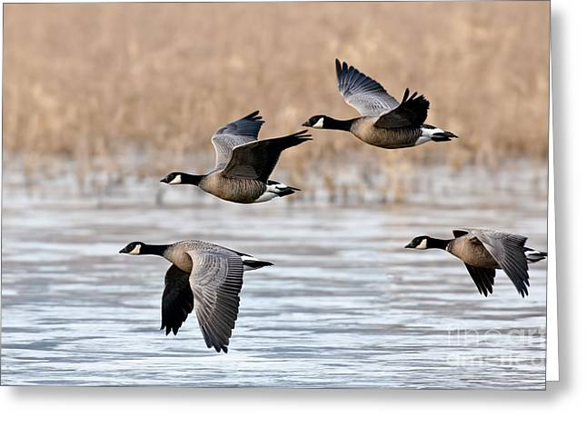 Cackling Geese Flying Greeting Card by Anthony Mercieca