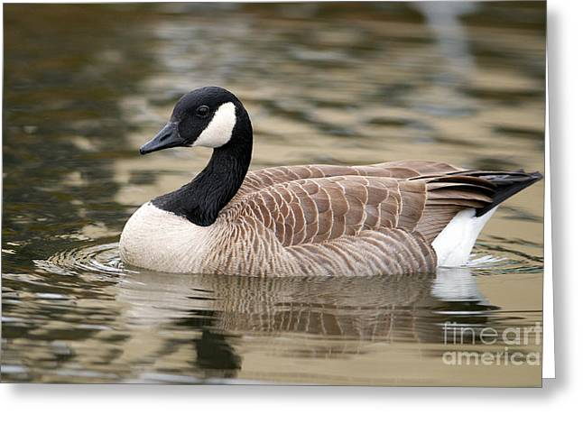 Cackling Goose Greeting Card by Sharon Talson