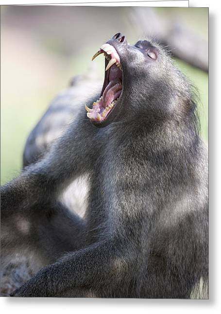 Cackma Baboon Yawning Greeting Card by Sean McSweeney