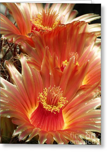 Cactus Blossoms Greeting Card
