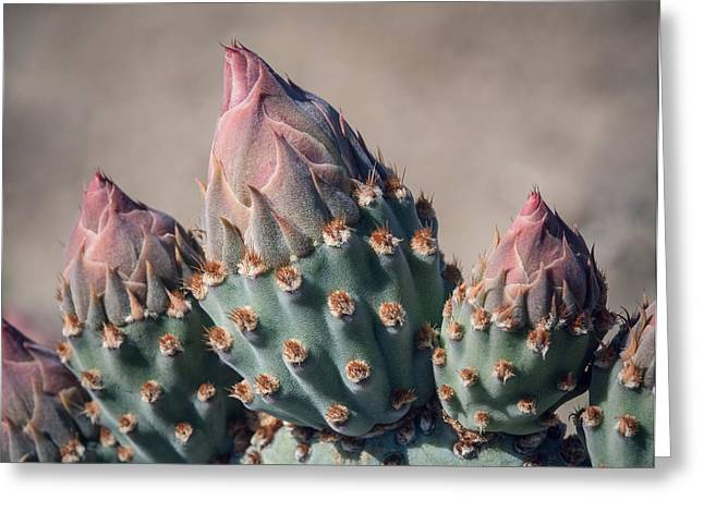 Cactus Flower Buds Greeting Card