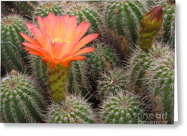 Greeting Card featuring the photograph Cactus Flower by Cheryl Del Toro