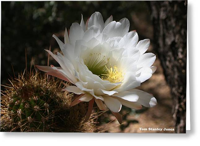 Cactus Flower Full Bloom Greeting Card