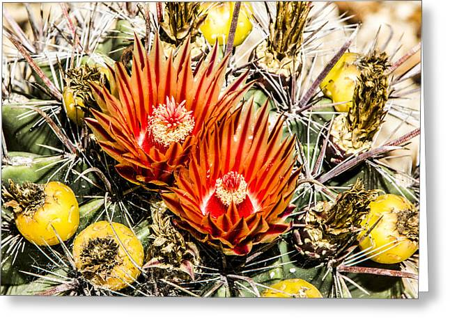 Cactus Flowers And Fruit Greeting Card by Photographic Art by Russel Ray Photos
