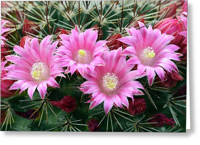 Cactus Mammillaria Zeilmanniana 'new Dawn' Greeting Card by Nigel Downer/science Photo Library