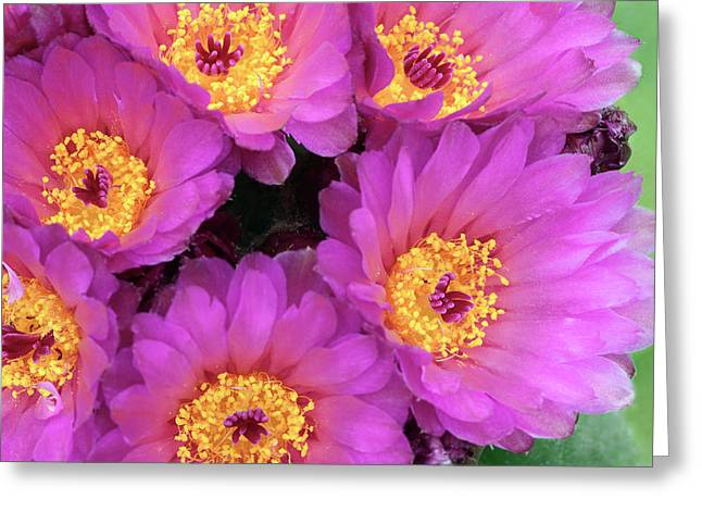 Cactus Notocactus Uebelmannianus Greeting Card by Nigel Downer/science Photo Library