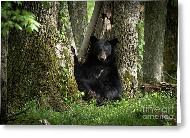 Cades Cove Bear Greeting Card by Douglas Stucky