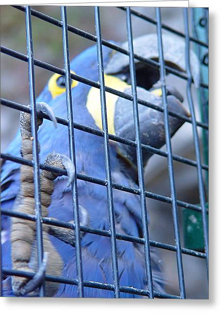 Greeting Card featuring the photograph Caged - Blue Parrot by Menega Sabidussi