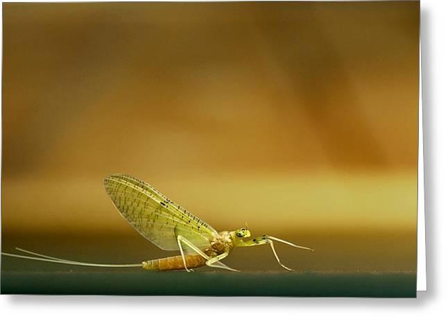 Cahill Mayfly Greeting Card