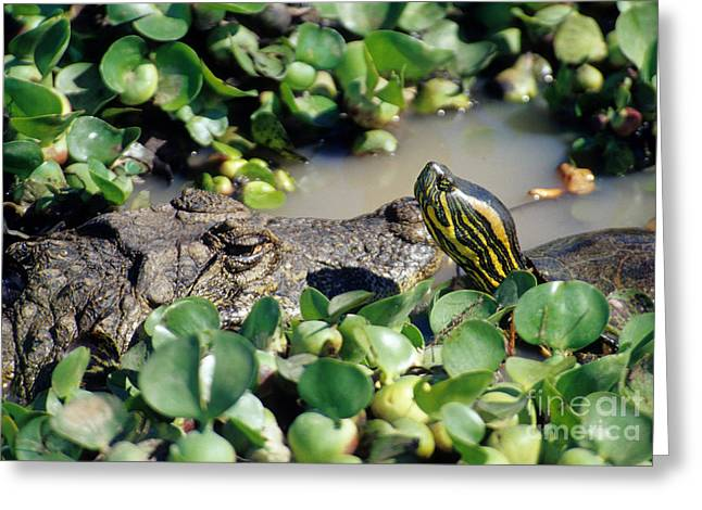 Caiman And Turtle Greeting Card by William H. Mullins