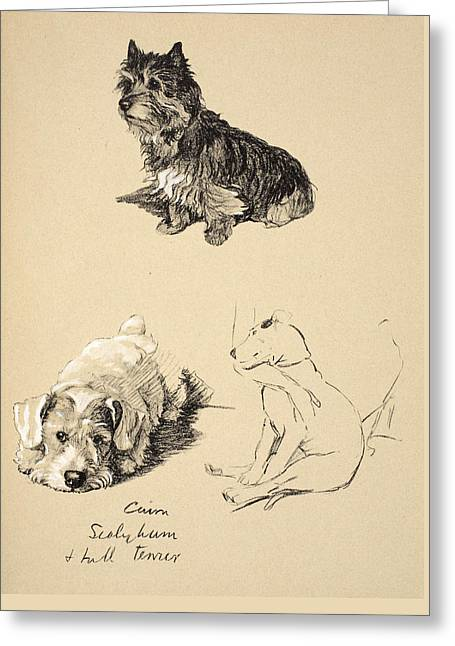 Cairn, Sealyham And Bull Terrier, 1930 Greeting Card by Cecil Charles Windsor Aldin